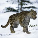 Snow Leopard by AM